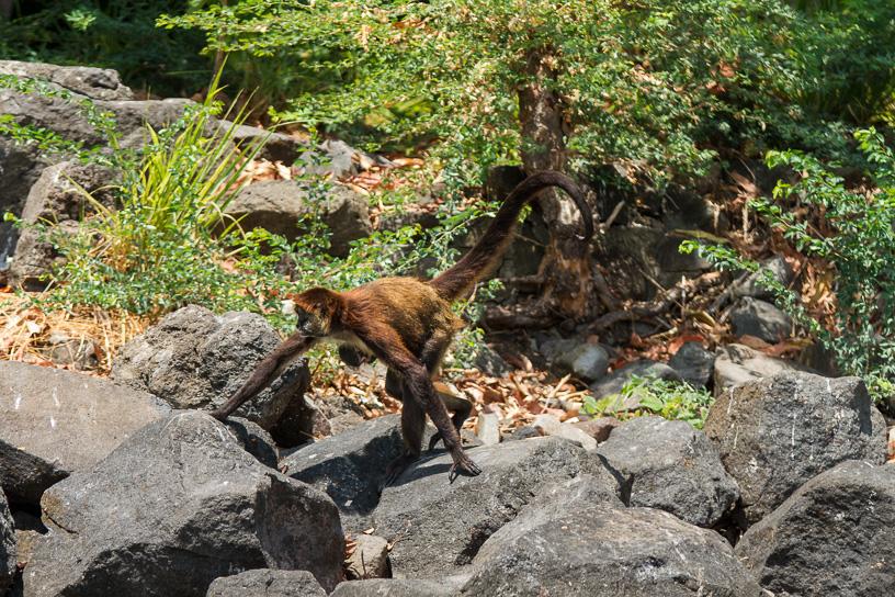 En el recorrido por el archipiélago hay una isleta que llaman de los monos, porque alguien tiempo atrás dejo monos allí, no se de que se alimentan porque  la isleta no es muy grande , algunos lancheros llevan fruta para que el turista pueda verlos.