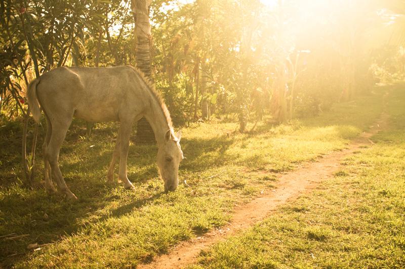Caballos para alquilar en la reserva Charco Verde. Ometepe-Nicaragua.
